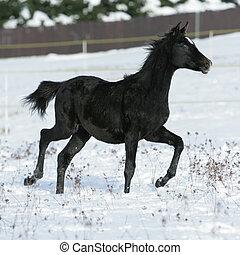 bonito, cavalo, árabe, executando, inverno