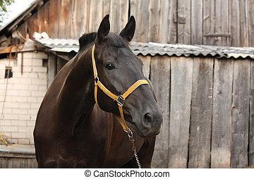 bonito, cavalo preto, retrato, em, a, estável