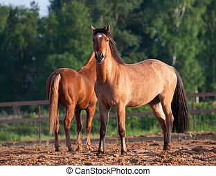 bonito, cavalos, em, pôr do sol, verão