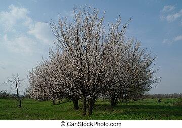 bonito, cena natureza, com, florescer, árvore, em, primavera