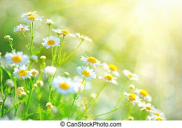 bonito, cena natureza, com, florescer, chamomiles, em, sol chameja