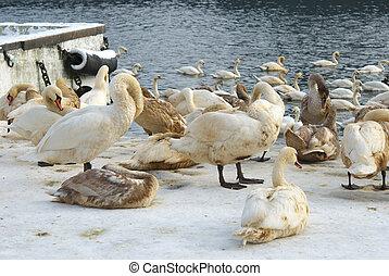 bonito, coberto, cisnes, óleo