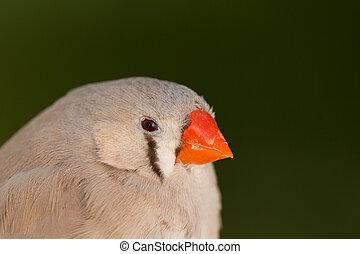bonito, colorido, pássaro