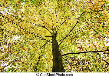 bonito, copa árvore, de, um, outono, árvore faia