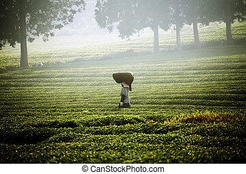 bonito, coréia, chá, campo, boseong, verde, sul