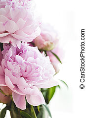 bonito, Cor-de-rosa, flores,  peony,  wh