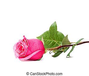 bonito, cor-de-rosa levantou-se