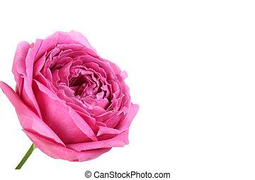 bonito, cor-de-rosa levantou-se, isolado, ligado, um, branca