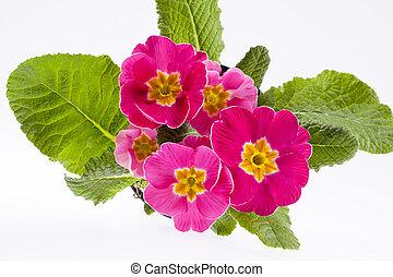 bonito, cor-de-rosa, primavera, cima, -close, flores, primula