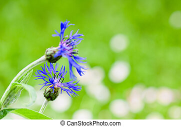 bonito, cornflowers, close-up, prado