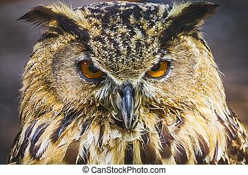 bonito, coruja, olhos, plumage, intenso