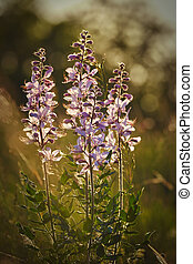 bonito, (dictamnus, wildflowers, albus), springtime