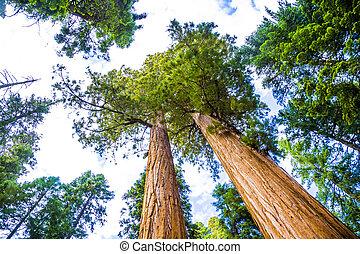 bonito, enorme, antigas, semelhante, parque nacional, árvores, sequoia, redwoods, paisagem