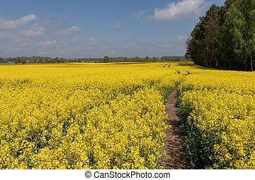 bonito, enorme, flor, canola, field., violação, vista
