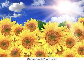 bonito, ensolarado, amarela, luminoso, girassóis, dia