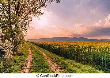 bonito, estrada rural, ligado, um, pôr do sol, com, rapeseed, campo, e, florescer, cereja, árvores.