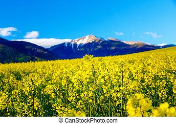 bonito, flor amarela, oilseed estupram, com, montanha, em, experiência.
