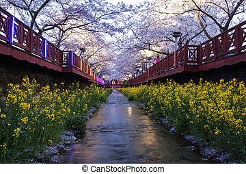 bonito, flor, cereja, jinhae, festival, coréia, sul