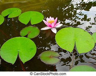 bonito, flor cor-de-rosa, loto, água, florescer, lírio