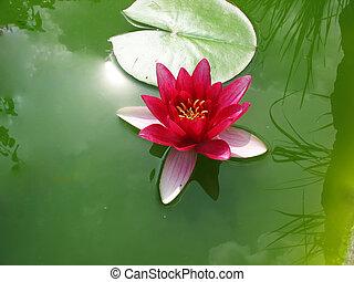 bonito, flor cor-de-rosa, loto, água, florescer, lírio lagoa