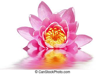 bonito, flor cor-de-rosa, loto, água, flutuante