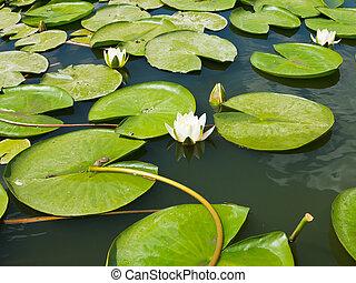 bonito, flor cor-de-rosa, loto, folhas, água, verde, lírio lagoa