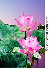 bonito, flor cor-de-rosa, loto, pôr do sol, florescer