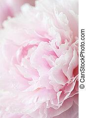 bonito, flor cor-de-rosa, peony, fundo
