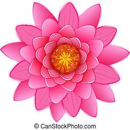 bonito, flor cor-de-rosa, waterlily, loto, isolated., ou