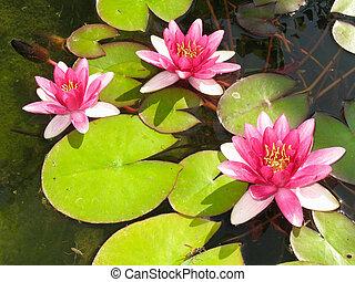 bonito, flor, loto, folhas, água, verde, florescer, lírio lagoa, vermelho