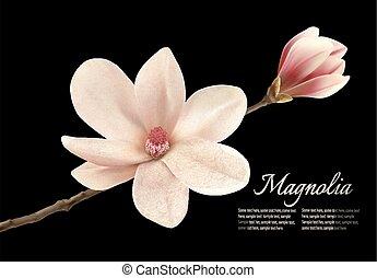 bonito, flor, magnólia, isolado, experiência., pretas, vector., branca