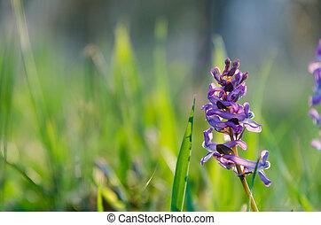 bonito, flor, roxo, springtime, cedo, grama verde