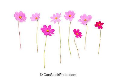 bonito, flores côr-de-rosa, isolado, ligado, um, fundo branco
