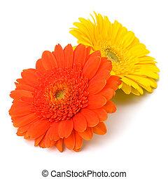 bonito, flores, margarida gerbera