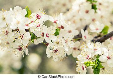 bonito, florescer, arte, primavera, cena abstrata, obscurecido, cereja, day., experiência., flowers., field., branca, orchard., natureza, raso, ensolarado, flare., fundo, blossom., árvore, profundidade, sol