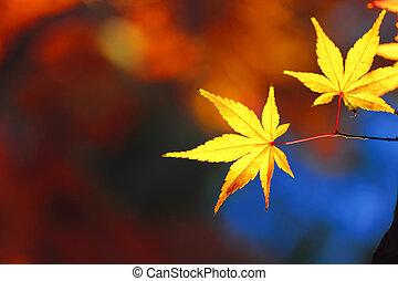bonito, folhas, maple