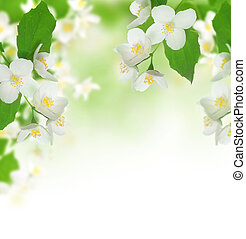 bonito, fresco, jasmine
