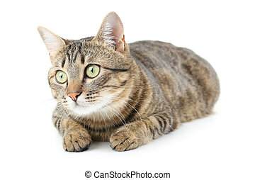 bonito, gato, isolado, ligado, um, branca