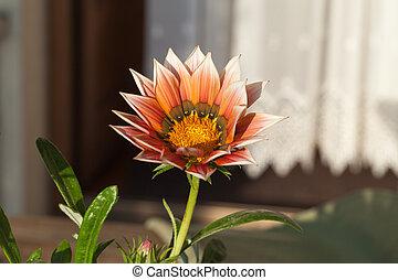 bonito,  Gazania, flor