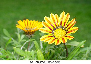 bonito,  Gazania, flor, flores, cama