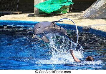 bonito, golfinho, pular, através, um, aro, alto