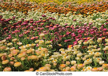 bonito, helichrysum, flores, feild, jardim