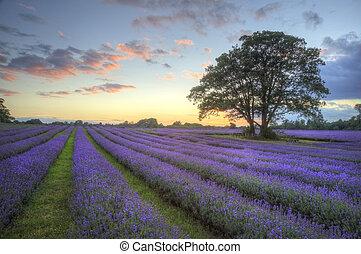 bonito, imagem, de, impressionante, pôr do sol, com, atmosférico, nuvens, e, céu, sobre, vibrante, maduro, lavanda, campos, em, campo inglês, paisagem