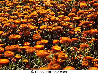 bonito, laranja, helichrysum, flor, fundo