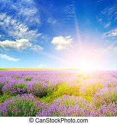 bonito, lavanda, sunset., campo
