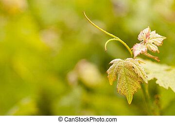 bonito, luxuriante, uva, folheia, vinhedo