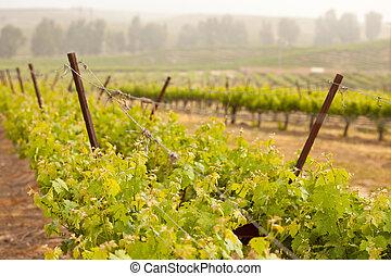 bonito, luxuriante, uva, vinhedo, em, a, sol manhã, e, névoa