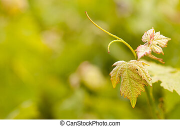 bonito, luxuriante, uva, vinhedo, folheia