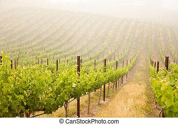bonito, luxuriante, uva, vinhedo