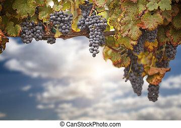 bonito, luxuriante, videira, uva, céu